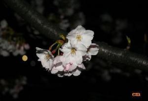 犀川/夜桜
