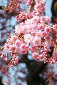 犀川/枝垂桜