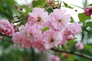 オオタ桜(本覚寺)1