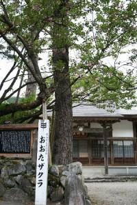 オオタ桜(本覚寺)