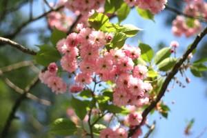 21年白川郷オオタ桜