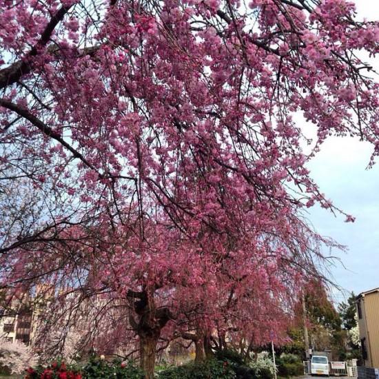 2015 金沢市千日町 桜